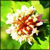 http://wildwarriors.narod.ru/articles/herbs/clover.jpg