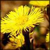 http://wildwarriors.narod.ru/articles/herbs/coltsfoot.jpg