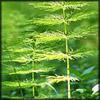 http://wildwarriors.narod.ru/articles/herbs/equisetum.jpg