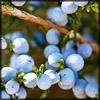 http://wildwarriors.narod.ru/articles/herbs/juniper.jpg