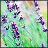 http://wildwarriors.narod.ru/articles/herbs/lavender.jpg