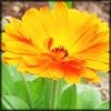 http://wildwarriors.narod.ru/articles/herbs/marigold.jpg