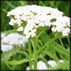 http://wildwarriors.narod.ru/articles/herbs/milfoil.jpg
