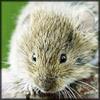 http://wildwarriors.narod.ru/articles/herbs/mouse_bile.jpg