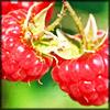 http://wildwarriors.narod.ru/articles/herbs/raspberry.jpg