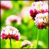 http://wildwarriors.narod.ru/articles/herbs/red_clover.jpg